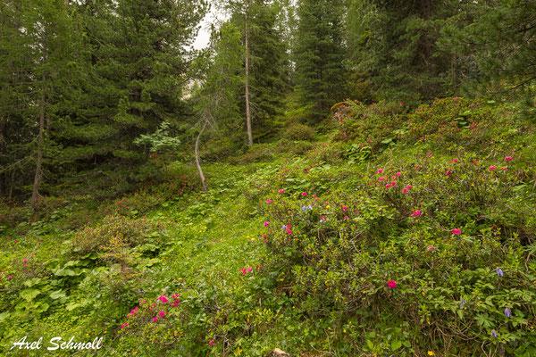 Intakter Bergwald mit Alpenrosen