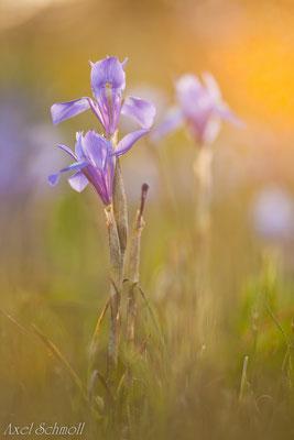 Mittagsiris (Gynandriris sisyrinchium)- Donana (Spanien)