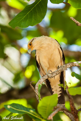 Gelbkopfkarakara (Milvago chimachima) – yellow-headed caracara – Manuel Antonio