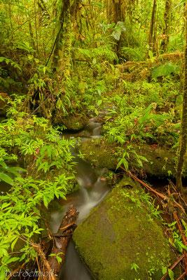 Regenwald am Rio Atelopus