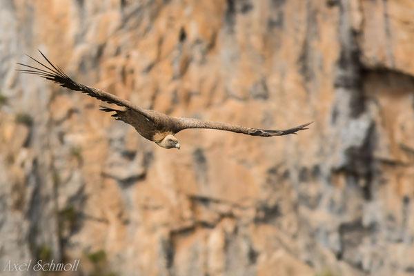 Gänsegeier (Gyps fulvus) - Extremadura