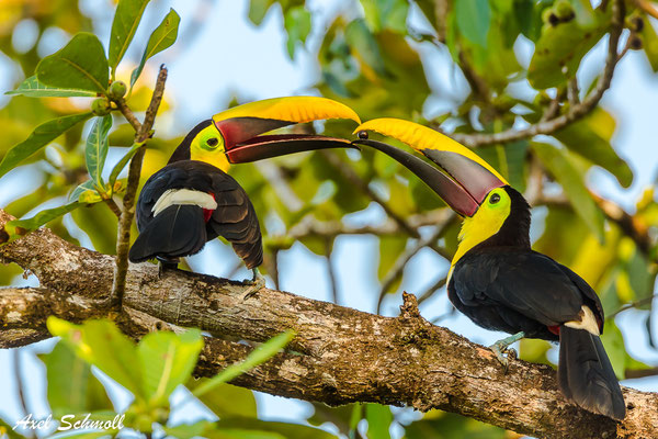 Swainson-Tukan (Ramphastos swainsonii) – chestnut-mandibled toucan – Punta Marenco-Lodge