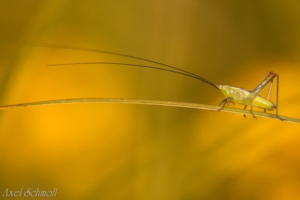 Kurzflügelige Schwertschrecke (Conocephalus dorsalis) - Potsdam