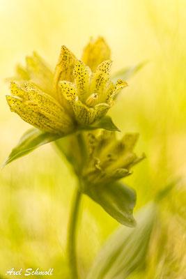 Tüpfelenzian (Gentiana punctata) - Montafon (Alpen)