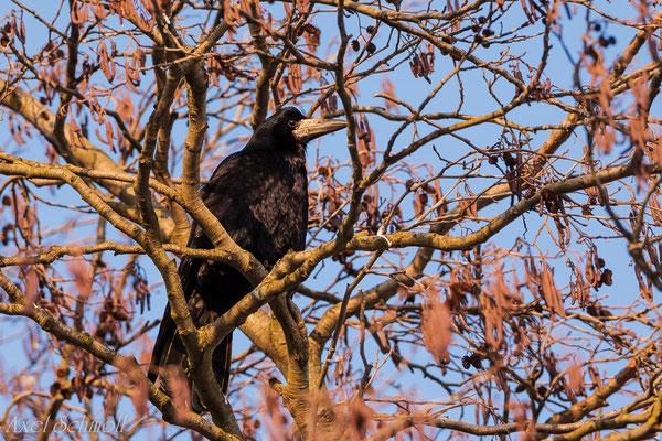 Saatkrähe (Corvus frugilegus) - Leipzig