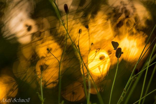Dunkler Wiesenknopf-Ameisenbläuling (Maculinea nausithous)