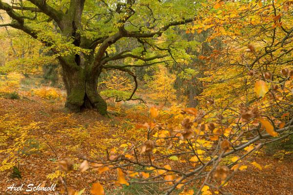 Paradiesischer Wald mit Uralteiche