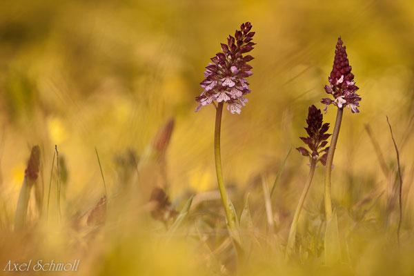 Purpurknabenkraut (Orchis purpurea)