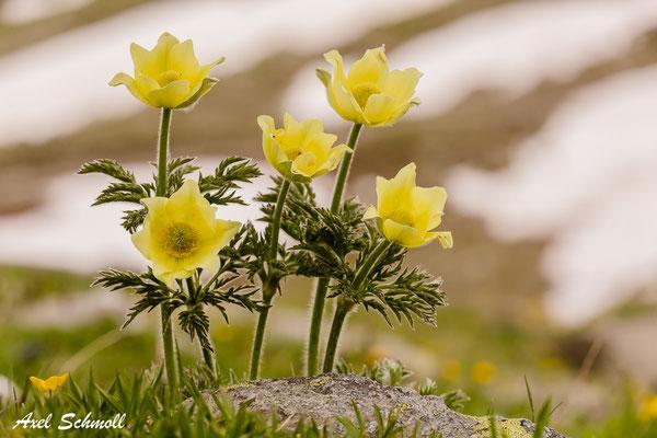 Gelbe Alpen-Kuhschelle (Pulsatilla alpina)