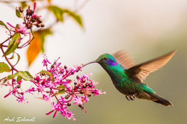 Veilchenohrkolibri (Colibri thalassinus) – lesser violet-ear – Mirador Quetzales