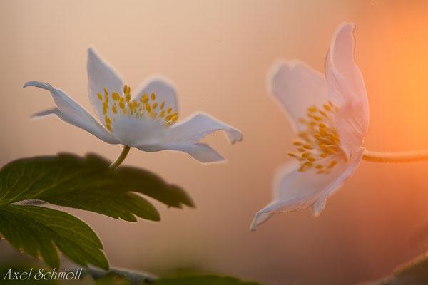 Buschwindröschen (Anemone nemoralis)