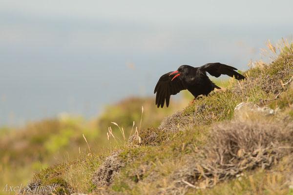 Alpenkrähe (Pyrrhocorax pyrrhocorax) - Wales