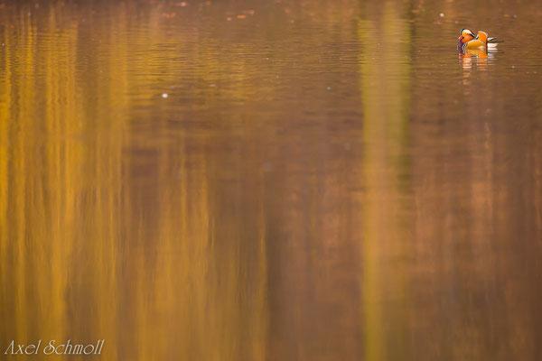 Mandarinenente (Aix galericulata) - Leipzig