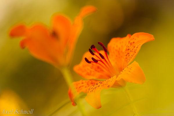 Feuerlilie (Lilium bulbiferum) - Abruzzen