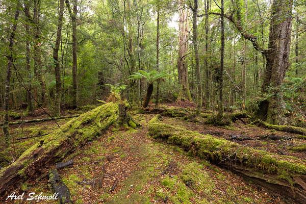 Gemäßigter Regenwald mit Baumfarnen