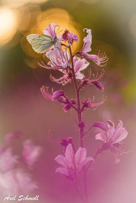 Baumweißling (Aporia crategi) auf Diptam
