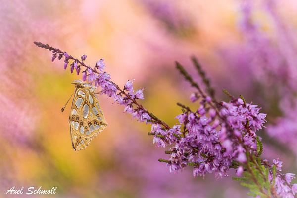 Silbriger Perlmuttfalter (Argynnis lathonia) - Brandenburg