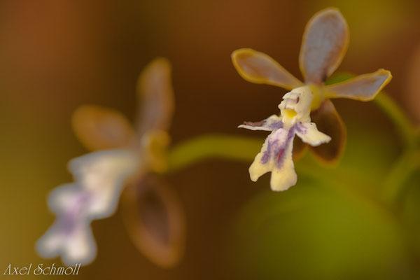 Orchidee im Bergnebelwald