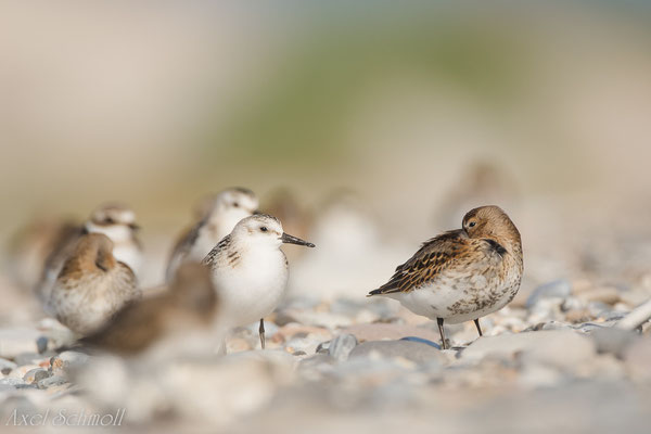 Sanderling (Calidris alba) und Alpenstrandläufer (Calidris alpina)