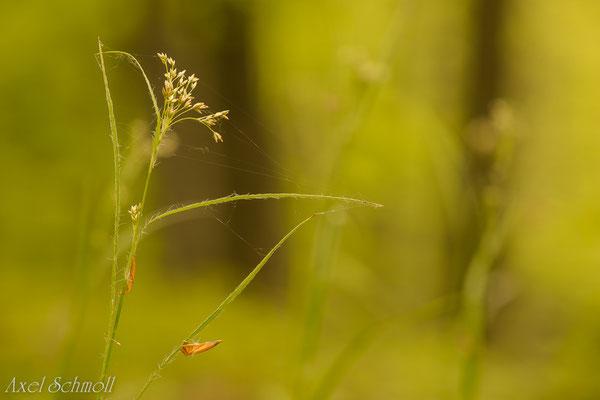 Hainsimse (Luzula luzoloides)
