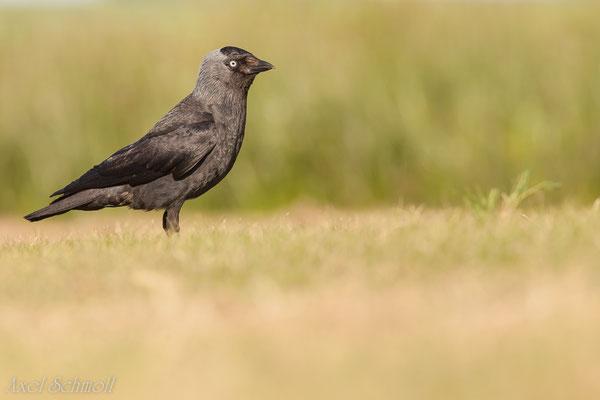 Dohle (Corvus monedula) - Wales