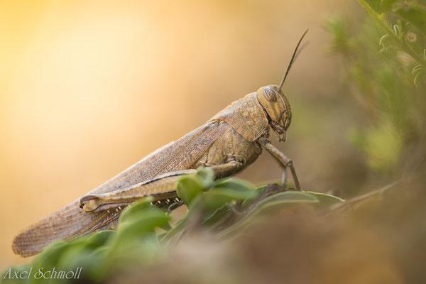 Europäische Wanderheuschrecke (Locusta migratoria) - Vorpyrenäen