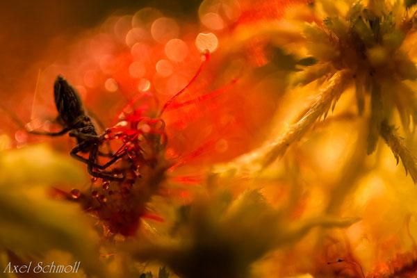 Dumm gelaufen - Spinne im Sonnentau