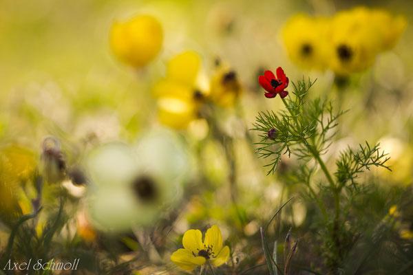 Sommer-Adonisröschen (Adonis aestivalis) - Zypern