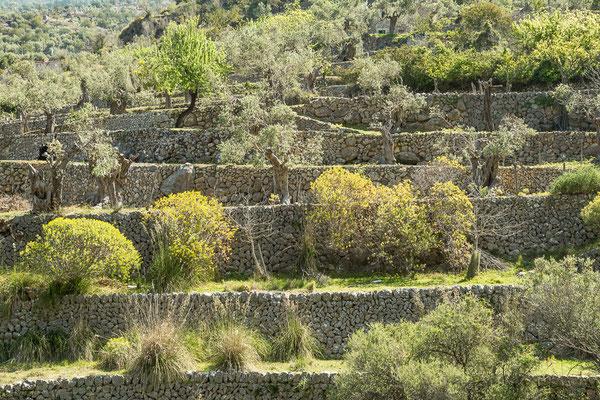 Oliventerrassen