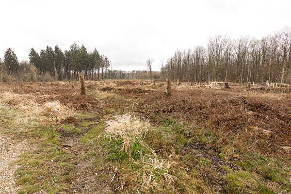 Riesiger Kahlschlag ca. 500m nordnordwestlich Pech (Sportplatz) im Rahmen des EU-Naturschutzgroßprojektes.