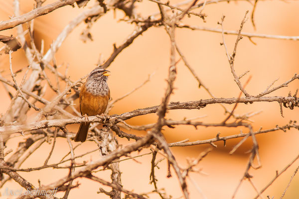 Hausammer (Emberiza striolata) - Marokko