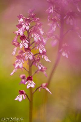 Helmknabenkraut (Orchis militaris)