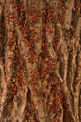 Gemeine Feuerwanzen (Pyrrhocoris apterus) - Potsdam