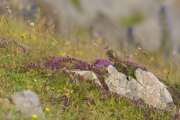 Strandpieper (Anthus petrosus) - Wales