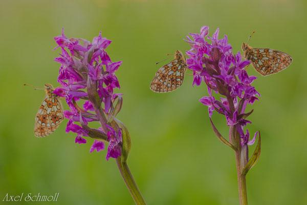 Sumpfwiesen-Perlmuttfalter (Clossiana selene) - Sachsen