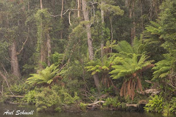 Baumfarne an den Ufern des Arthur Rivers