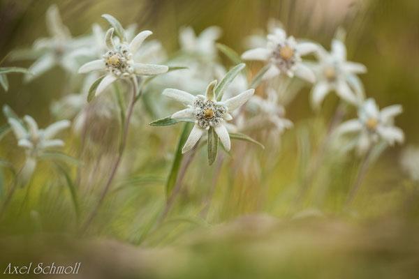 Alpen-Edelweiß (Leontopodium nivale) - Pyrenäen