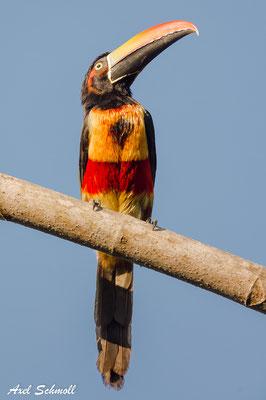 Feuerschnabel-Arassari (Pteroglossus frantzii) – fiery-billed aracari – Punta Marenco-Lodge