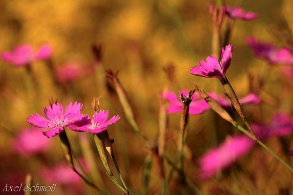 Heidenelke (Dianthus deltoides)