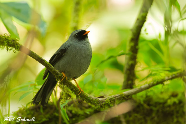Masken-Klarino (Myadestes melanops) - black-faced solitaire - Reservat Monteverde