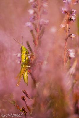 Kleine Goldschrecke (Euthystira brachyptera) - Brandenburg