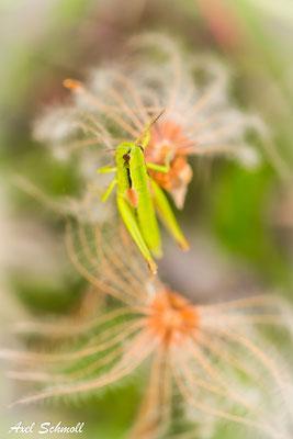 Kleine Goldschrecke (Chrysochraon brachyptera)