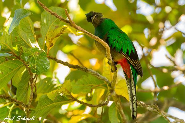 Quetzal (Pharomachrus mocinno) - Weibchen