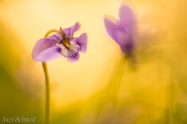 Waldveilchen (Viola reichenbachiana)