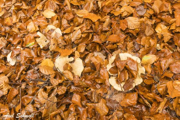 Herbstliches Buchenlaub.