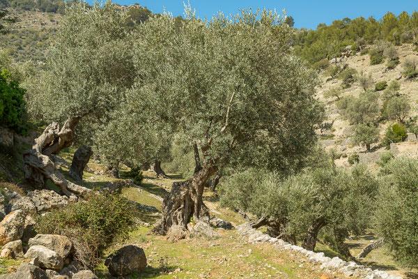 Alter Olivenhain