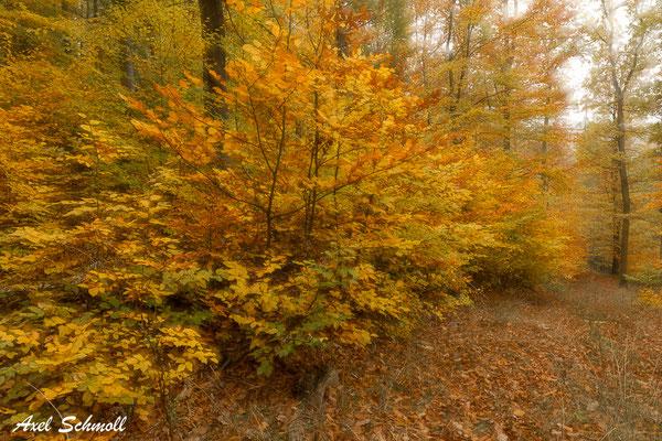 Waldweg mit Buchennaturverjüngung