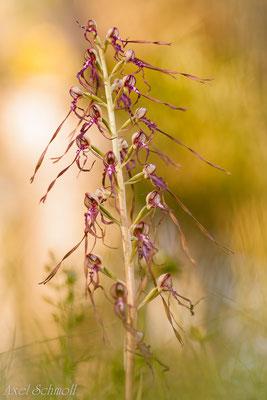 Adriatische Riemenzunge (Himantoglossum adriaticum) - Abruzzen