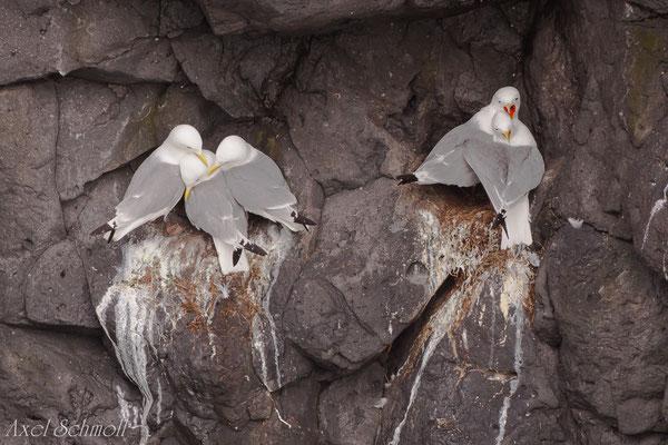 Dreizehenmöwe (Rissa tridactyla) -Island