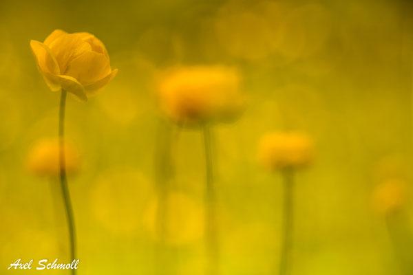 Trollblume (Trollius europaeus) - Montafon (Alpen)